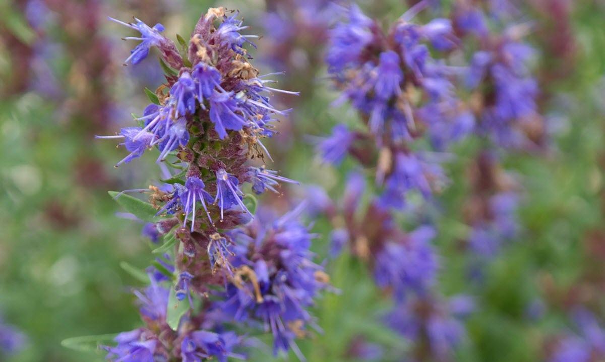 Foto: Planta sfântă ce curăță organismul este pomenită și în Biblie