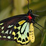 Foto: ANSA: În Moldova a apărut fluturele-de-scaieți, care atacă frunzele și culturile agricole
