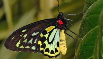 ANSA: În Moldova a apărut fluturele-de-scaieți, care atacă frunzele și culturile agricole