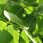 Foto: Frunzele de nuc sunt un excelent tratament împotriva căderii părului