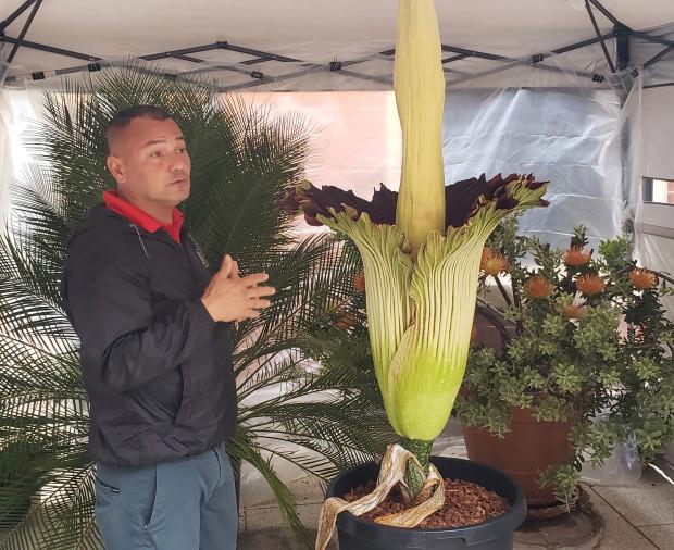 Foto: Cea mai mare floare din lume, cu miros de cadavru, a înflorit în campusul unei universităţi californiene