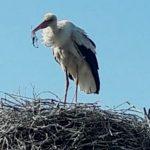 Foto: Un cocostârc a înghițit o undiță care avea la capăt un pește. Mesajul Societății pentru Protecția Păsărilor și a Naturii