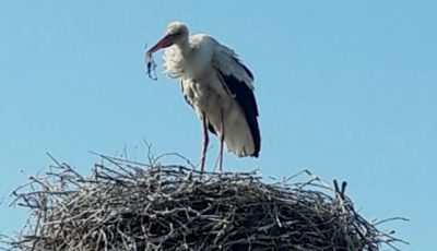 Un cocostârc a înghițit o undiță care avea la capăt un pește. Mesajul Societății pentru Protecția Păsărilor și a Naturii