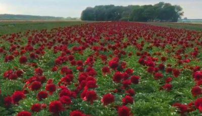 Video. Un câmp cu bujori în Olanda. Imagini spectaculoase!