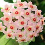 Foto: Lacrima Maicii Domnului, floarea parfumată care produce mir