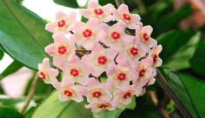 Lacrima Maicii Domnului, floarea parfumată care produce mir