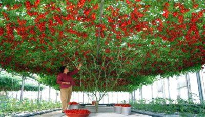 Roșia-pom, soiul gigant care produce mii de tomate