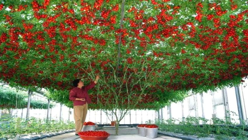 Foto: Roșia-pom, soiul gigant care produce mii de tomate