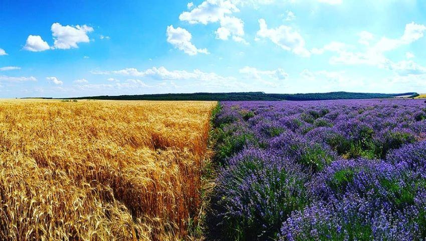 Foto: Lan de grâu și levănțică. Priveliște încântătoare în Moldova!