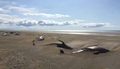 Circa 50 de balene au fost descoperite moarte pe o plajă