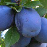 Foto: Doritorii de a culege prune, sunt invitați la livadă! Prețul, 5 lei kilogramul