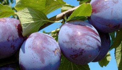 15 tone de prune moldovenești au fost exportate în Germania