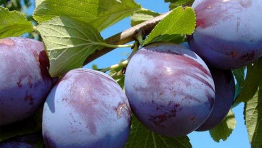 Foto: 15 tone de prune moldovenești au fost exportate în Germania