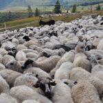 Foto: 58 de capre și 10 oi au murit otrăvite la Edineț, după ce au păscut pe un lan de grâu