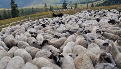58 de capre și 10 oi au murit otrăvite la Edineț, după ce au păscut pe un lan de grâu