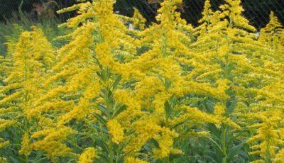 Înflorește ambrozia, planta care agravează alergiile și astmul bronșic. Recomandările specialiștilor de la ANSA