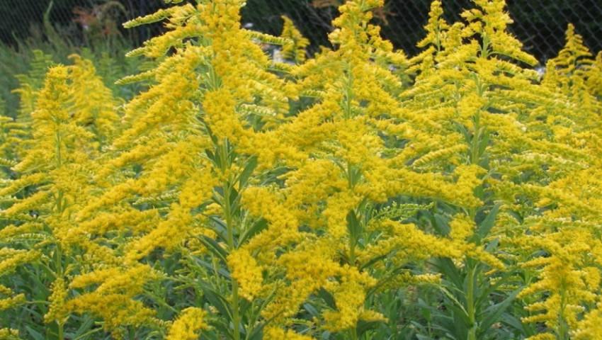 Foto: Înflorește ambrozia, planta care agravează alergiile și astmul bronșic. Recomandările specialiștilor de la ANSA