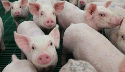 ANSA: Nu cumpărați carne de porc din țările vecine! Pestă porcină, la Cahul și Nisporeni