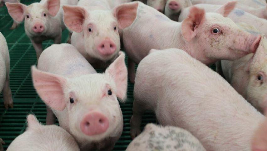 Foto: ANSA: Nu cumpărați carne de porc din țările vecine! Pestă porcină, la Cahul și Nisporeni