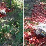 Foto: Zeci de kilograme de prune, găsite aruncate pe malul râului Bîc