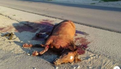 Un cal lovit de o mașină, lăsat să zacă într-o baltă de sânge, în apropiere de orașul Râșcani