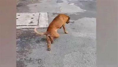 Video. Cel mai deștept câine: se preface că are piciorul rupt ca să primească mâncare