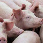 Foto: Sute de porci, sacrificați în sudul țării. Fermierii înregistrează pagube imense