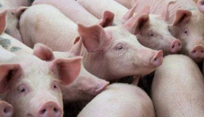 Sute de porci, sacrificați în sudul țării. Fermierii înregistrează pagube imense