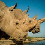 Foto: Doar doi rinoceri albi nordici au mai rămas în lume