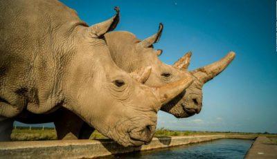 Doar doi rinoceri albi nordici au mai rămas în lume