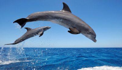 Delfinii sunt pe cale de dispariție în Marea Neagră, din cauza oamenilor!
