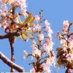 Foto: În Moldova, înfloresc castanii, macii, liliacul. Este o anomalie spun specialiștii
