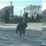 Foto: Video. Un urs aleargă după doi copii pe o stradă din Brașov. Oamenii au fost avertizați să nu iasă din case