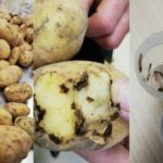 Foto: Un lot de 20 de tone de cartofi cu viermi urma să ajungă în țara noastră