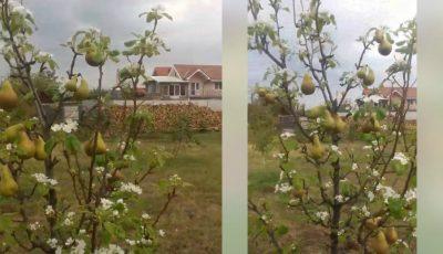Video! Pere și flori de pere pe același pom. Un efect total surprinzător al acestei toamne