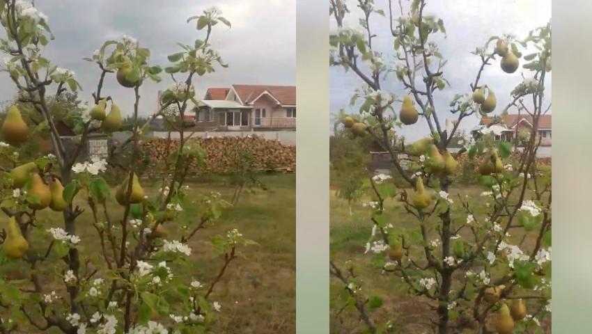 Foto: Video! Pere și flori de pere pe același pom. Un efect total surprinzător al acestei toamne