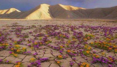 Foto! Cresc flori în deșertul Atacama, considerat cel mai uscat loc din lume