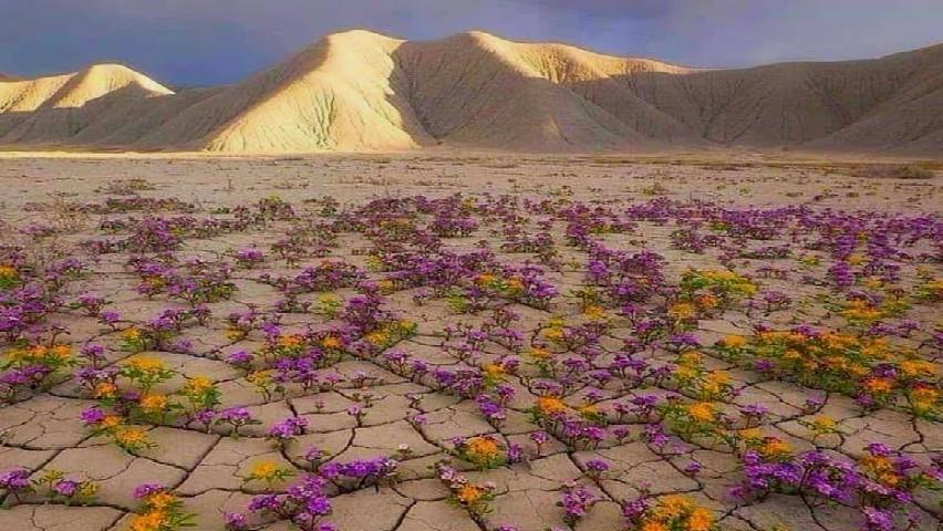 Foto: Foto! Cresc flori în deșertul Atacama, considerat cel mai uscat loc din lume