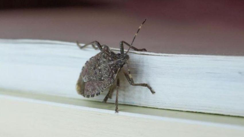 Foto: Invazie de gândaci urât mirositori în Capitală