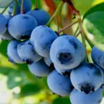 Foto: Afinele prelungesc durata vieții cu 22 de ani. Ce proprietăți au fructele?