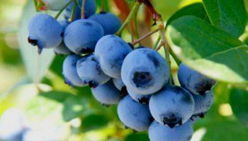 Afinele prelungesc durata vieții cu 22 de ani. Ce proprietăți au fructele?