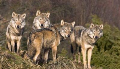 Haite de lupi flămânzi vin din Ucraina, în țara noastră. Atacă chiar și ziua