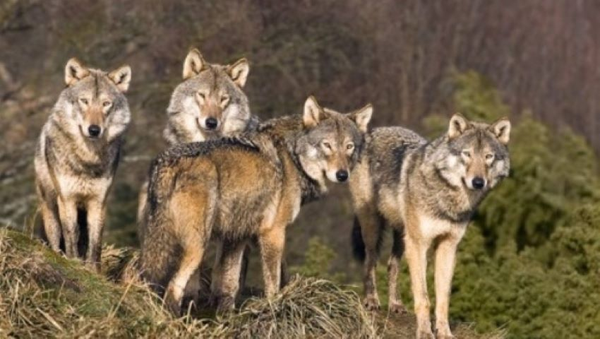 Foto: Haite de lupi flămânzi vin din Ucraina, în țara noastră. Atacă chiar și ziua
