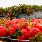 Foto: Tone de căpșune sunt culese la Strășeni, la sfârșit de octombrie
