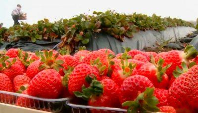 Tone de căpșune sunt culese la Strășeni, la sfârșit de octombrie