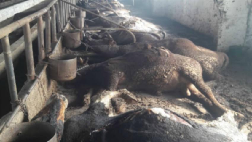 Foto: Incendiu la o fermă de vaci din Orhei. Peste 50 de animale au pierit în flăcări