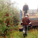 Foto: Muncitori din Uzbekistan, angajați la strânsul roadei din livezile Moldovei