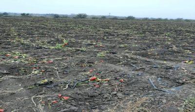 Alarmant. Niveluri ridicate de plumb, în legumele cultivate în apropierea albiei râului Bîc