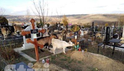 """Sar peste mormintele decedaților. O turmă de capre se hrănesc cu iarbă și flori uscate, în cimitirul ,,Sfântul Lazăr"""""""