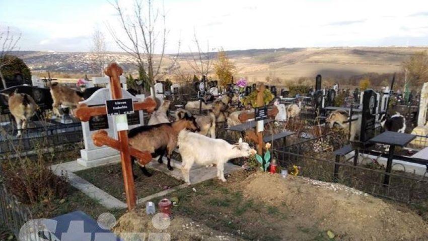 """Foto: Sar peste mormintele decedaților. O turmă de capre se hrănesc cu iarbă și flori uscate, în cimitirul ,,Sfântul Lazăr"""""""